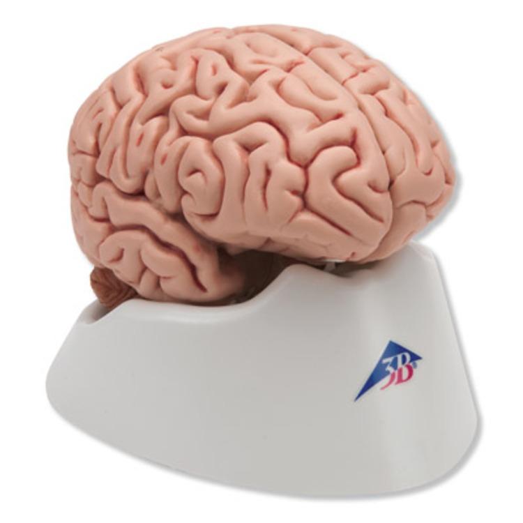 Classic Brain model - 5 part | Connevans
